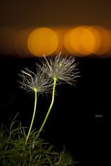 (jolizoli) Tags: flower night canon eos bokeh l 5d f2 usm ef virg 135mm bkk miskolc mark2 jszaka kkrcsin jolizoli vrosfny