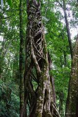 Strangler fig - higher (NettyA) Tags: tree rainforest australia ficus bushwalking qld queensland bushwalk springbrook stranglerfig goldcoasthinterland 2016 springbrooknationalpark scenicrim seqld warriecircuit scbwc sonya7r