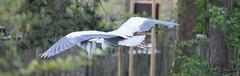 Flgelspannweite (dieunsoziale) Tags: zoo osnabrck tier reiher