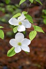 Pacific Dogwood (terry9567mac) Tags: ca usa flower nationalpark spring yosemite mercedriver pacificdogwood