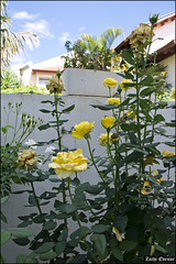 Yellow Roses IZE_15666 (Zachi Evenor) Tags: flowers roses flower rose garden israel gardening april mygarden    2016 rosea            zachievenor