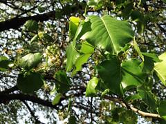 Green Leaves (ISAMLIU) Tags: lighting light sun sunlight tree green leaves leaf spring greens greenery tress