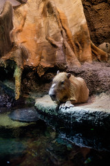 Osaka Kaiyukan Aquarium (filmfrog) Tags: japan aquarium jp osaka capybara sakafu sakashi