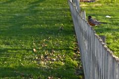 Fence Bird (ramseybuckeye) Tags: light sun art robin grass fence wooden pentax american