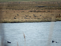 Curlews and a pair of tufted ducks at Marwick (Dunnock_D) Tags: uk bird water grass birds swimming reeds scotland duck pond orkney unitedkingdom ducks grasses tuftedduck curlew lochan marwick tuftedducks curlews theloons