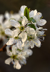 Blossom Ceremony (AnyMotion) Tags: flowers plants tree primavera floral spring blossom frankfurt ngc natur pflanzen makro blte printemps baum frhling 2016 macr greengage makroaufnahmen anymotion reineclaude 7d2 reneklode canoneos7dmarkii edelpflaume prunusdomesticasubspitalicavarclaudiana