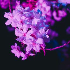 Cherry Blossoms at Night (cachafla) Tags: canada night vancouver cherry lumix lowlight bc blossom olympus panasonic sakura f18 f28 gx7