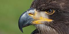 Young bald eagle (pe_ha45) Tags: baldeagle haliaeetusleucocephalus weiskopfseeadler adlerwarteberlebeck pyarguetteblanche