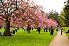 cherry blossom # 3 (__sam) Tags: flowers paris de cherry japanese spring cloudy blossom april sceaux pard 2016