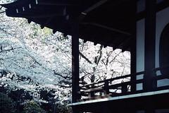 sakura'14 kajyuji-2 (転倒虫) Tags: japan temple kyoto 京都 桜 sakura fushimi さくら サクラ 伏見 kajyuji 勧修寺 ふしみ