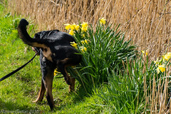 Spring has sprung! (RCB4J) Tags: playing art dogs pee photography scotland countryside spring vincent rottweiler daffodils peeing urinating watering ayrshire countryroads sonydt18250mmf3563 sonyslta77v dobermanterrier ronniebarron rcb4j