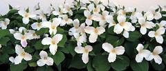 Trillium (SamSpade...) Tags: white trillium spring flora 585 5714 150513