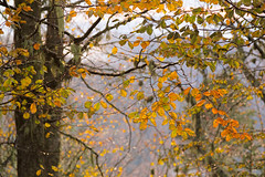 The last song (RKAMARI) Tags: autumn trees color nature leaves yellow forest events cities foliage rainy serene bolu gezi fogy yedigller