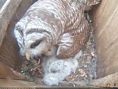 Mama barred owl deli (Wild Birds Unlimited) Tags: wild birds mama owl deli unlimited inc barred