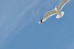 (ros-marie) Tags: fågel mås fotosondag iskyn fs160424