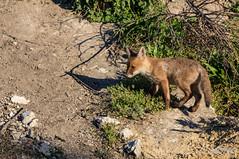 FoxSBahn-0079.jpg (mono-foto) Tags: wien tiere fuchs säugetiere