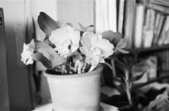 orchids (Nai.) Tags: flowers blackandwhite bw plant orchid film fleur closeup 35mm bokeh bonsai filmcamera filmphotography 135film pentaxespiomini filmcompactcamera seagull400 orientalseagull400