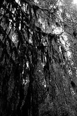 Tapestries of moss (that analogue guy) Tags: washington nikon kodak trix 11 d76 400 olympics fm hohrainforest hallofmosses nikkorh28mmf35