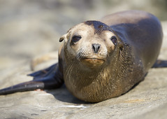 What do you want (San Diego Shooter) Tags: sandiego lajolla uncool sealion lajollacove babyanimal babysealion uncool2 uncool3 uncool4 uncool5