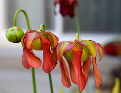 Three in a Row (incidencematrix) Tags: flowers plants pitcher carnivorous sarracenia