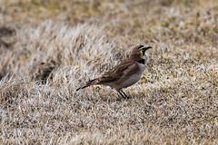 Horned Lark, Cape St. Mary's (frank.king2014) Tags: ca canada saintbrides hornedlark newfoundlandandlabrador