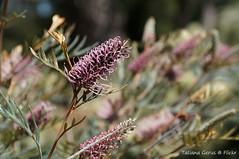 Grevillea 'Dorothy Gordon' (Tatters ) Tags: flowers australia hybrid botanicgarden grevillea proteaceae mcbgb grevilleadorothygordon