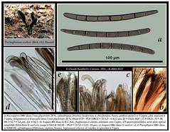 Trichoglossum walteri  (Berk.) E.J. Durand (Claude Kaufholtz-C.) Tags: mushrooms fungi pilze mycology champignons mycologie fongi trichoglossumwalteri ascomyctes pilzkunde planchemicrographique