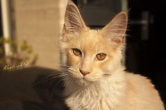 Ziggy - our Maine Coon kitten (Kayleigh G.) Tags: kitten g maine kay coon katze odin ziggy kayleigh