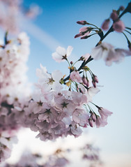 a blossoming world (almostsummersky) Tags: morning sky flower macro tree water clouds sunrise cherry washingtondc us dc washington petals spring districtofcolumbia unitedstates blossom branches bloom flowering cherryblossoms jeffersonmemorial blooming tidalbasin cherryblossomfestival