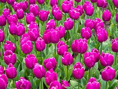 Vivid (Peter Jaspers) Tags: flower green colors spring purple tulips vivid olympus denhaag repetition lente zuiko thehague omd fullscreen tulpen madurodam tulp 2016 em10 herhaling hofstad 45mm18 frompeterj