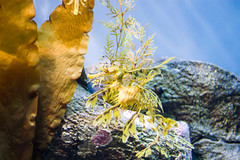 Camouflage (jonathanchue) Tags: ocean california blue light sea horse fish water animal animals swimming swim aquarium monterey marine aqua seahorse glow underwater shine unitedstates camo camouflage glowing rays creatures creature shining shimmering shimmer