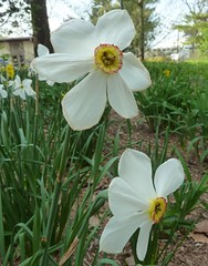 Lombard, IL, Lilacia Park, Narcissus Flowers (Mary Warren (6.7+ Million Views)) Tags: flowers white nature spring flora blossoms blooms narcissus lilaciapark dichternarzisse lombardil poeticus