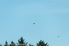 RedTail Hawk12_DSC5209.jpg (orig_lowolf) Tags: usa bird oregon nikon flickr hawk crows frontyard attacking lakeoswego d300s sigma150500mmf563afapodgoshsmtelephotozoom