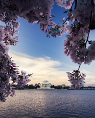 peak bloom (almostsummersky) Tags: morning sky flower tree water clouds sunrise cherry washingtondc us dc washington petals spring districtofcolumbia unitedstates blossom framed branches bloom flowering cherryblossoms jeffersonmemorial blooming tidalbasin cherryblossomfestival