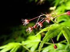 Acer palmatum (Shiori Hosomi) Tags: flowers plants japan night tokyo nocturnal nightshot acer april   2016  aceraceae    noctuary sapindales  flowersinthenight noctivagant   23