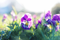 Inhale confidence. Exhale doubt. (Sandra H-K) Tags: flowers plant green nature grass backlight outside spring flora dof purple bokeh outdoor pansy depthoffield april ontheground springtime 35mm14 canon70d