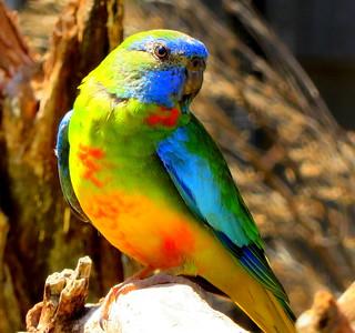 Scarlet-chested Parrot - Neophema splendida (Explored #133 - 22 April 2016)