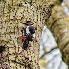 Woodpecker, Mary Stevens Park (sabphoto69) Tags: park red bird love nature birds woodland garden outside gardening bees mary stevens parks ivy bee council dudley spotted woodpeckers bumble stourbridge