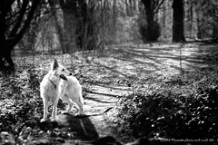 Suki our German shepherd in the woods mono (Phoenix photo and craft UK) Tags: uk england dog pet forest woods walk yorkshire german suki sheperd gsd
