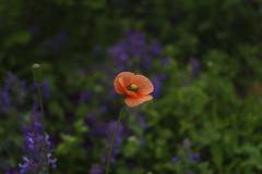 _DSC2066 (Osamu1965) Tags: flower japan zeiss garden spring sony contax jp   okayama     a7m2  carlzeissvariosonnart2870mmf3545mm