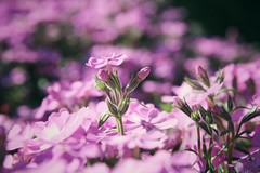 (Szcs Fanni R.) Tags: flowers plant flower nature sunshine garden spring purple outdoor