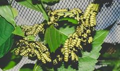 oruga de mariposa (RonaldHV) Tags: naturaleza green nature butterfly colombia caterpillar armenia worm mariposa eco gusano oruga quindio mariposario ejecafetero