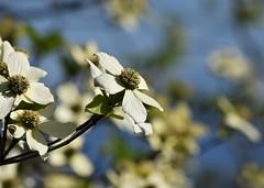 Dogwood (careth@2012) Tags: flower nature spring dogwood