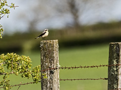 D97A9923 (yapaphotos) Tags: northern wheatear oenanthe traquet motteux