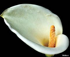 La cala (Montse;-))) Tags: flower nature flor cala zantedeschiaaethiopica liriodeagua
