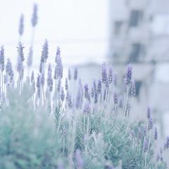 lavender dream (magicmoment.z) Tags: lavender