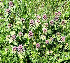 Purple Deadnettle (mudder_bbc) Tags: newyork spring purple parks april wildflowers selkirk lamium deadnettle lamiumpurpureum purpledeadnettle hollyhockhollowsanctuary