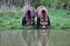 in harmony (Hugo von Schreck) Tags: bear animals outdoor tier br tamronsp150600mmf563divcusda011 canoneos5dsr hugovonschreck