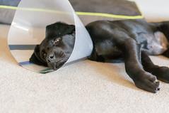 DSC02099.jpg (cadillacjr2002) Tags: dog labrador clancy