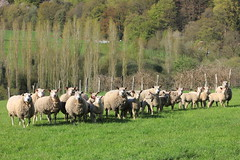 805 RASSEMBLEMENT A VOS ORDRES ! (rustinejean) Tags: nature animal normandie mouton troupeau rustine
